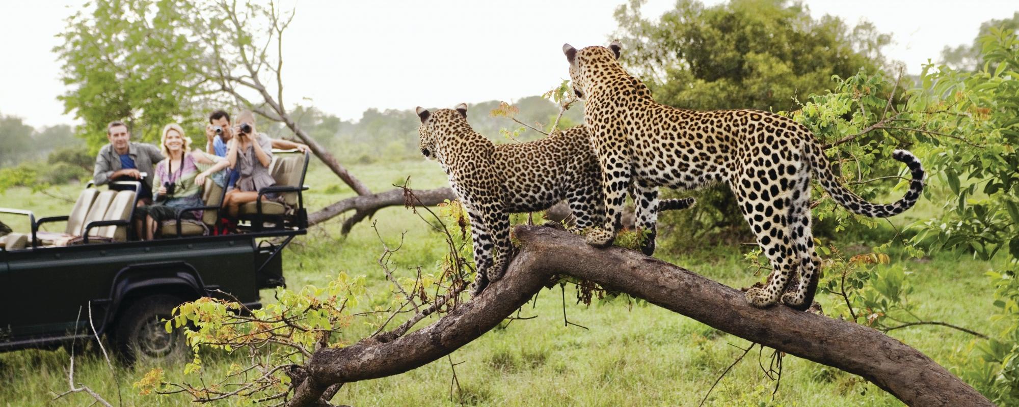 Cheetahs Safari